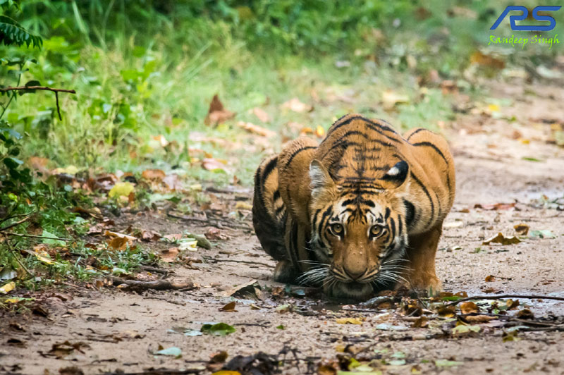 Big Cats - Randeep Singh's Photography of Tiger, Lions, Cheetah